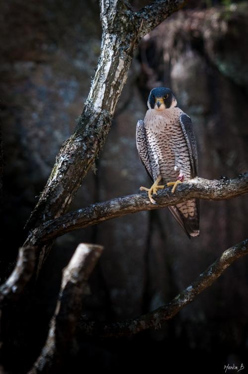 Falk på Nordens Ark